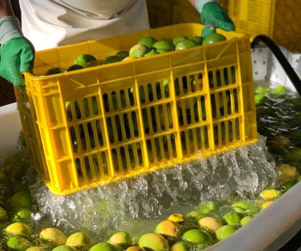 کارخانه موژان -میوه